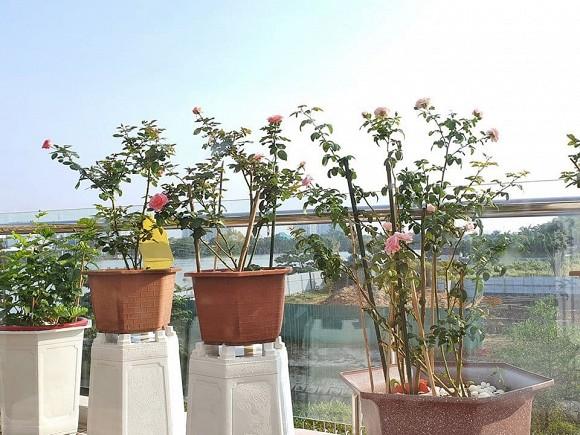 Vườn hồng tuyệt đẹp trong căn biệt thự 1300m2 của vợ chồng Vũ Thu Phương-10