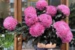 Bông hoa bé bằng cúc áo dùng làm thuốc, pha trà có giá bán tới 800.000 đồng/kg-10