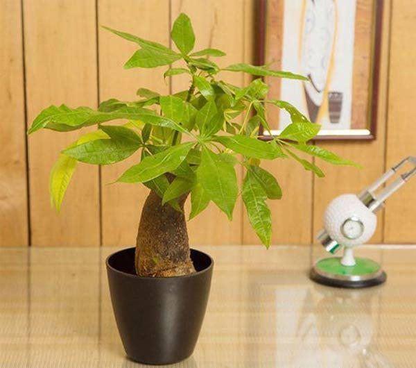 Những loại cây nghe tên đã thấy giàu, đặt bàn làm việc giúp thêm may mắn-3
