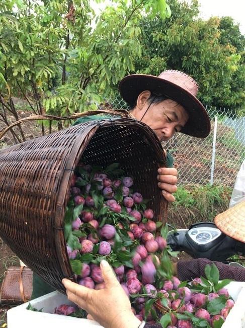 Loại mận Việt Nam đắt ngang nho Mỹ, ngọt như cherry được chị em săn lùng-4