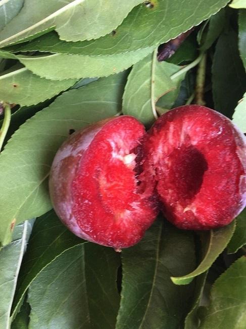 Loại mận Việt Nam đắt ngang nho Mỹ, ngọt như cherry được chị em săn lùng-6