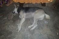 Xôn xao hình ảnh chú chó bỏ ăn, nằm phục trông coi linh cữu rồi mất ngay sau tang lễ của chủ