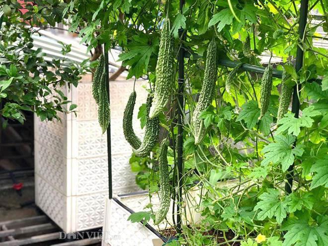 Ngất ngây với khu vườn xanh mướt, lúc lỉu trái ngon trên sân thượng của mẹ đảm Hà thành-11