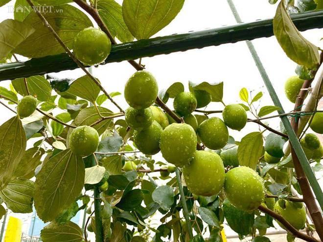 Ngất ngây với khu vườn xanh mướt, lúc lỉu trái ngon trên sân thượng của mẹ đảm Hà thành-12