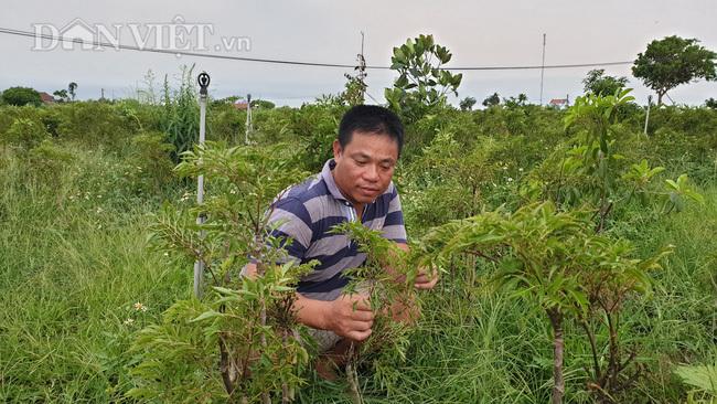 Nam Định: Đinh lăng giá rẻ như cho, từ cây làm giàu thành cây chết dở-1