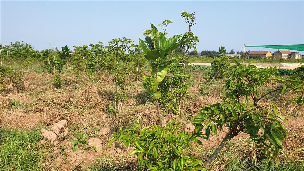 Nam Định: Đinh lăng giá rẻ như cho, từ cây làm giàu thành cây chết dở-4