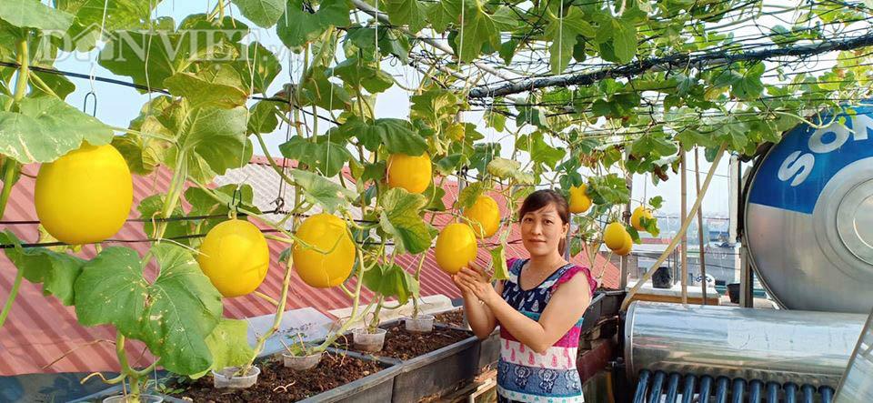 Vườn dưa lưới ở Hà Nội, chỉ 30m2 sân thượng mà mỗi năm thu 3 tạ dưa-1