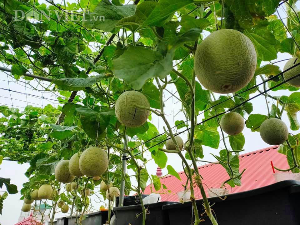 Vườn dưa lưới ở Hà Nội, chỉ 30m2 sân thượng mà mỗi năm thu 3 tạ dưa-2