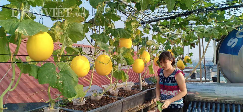 Vườn dưa lưới ở Hà Nội, chỉ 30m2 sân thượng mà mỗi năm thu 3 tạ dưa-4