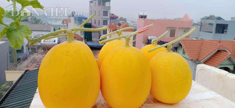 Vườn dưa lưới ở Hà Nội, chỉ 30m2 sân thượng mà mỗi năm thu 3 tạ dưa-6