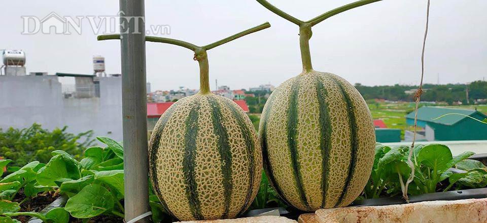 Vườn dưa lưới ở Hà Nội, chỉ 30m2 sân thượng mà mỗi năm thu 3 tạ dưa-7