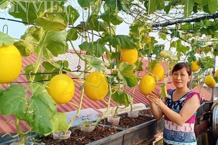 Vườn dưa lưới ở Hà Nội, chỉ 30m2 sân thượng mà mỗi năm thu 3 tạ dưa