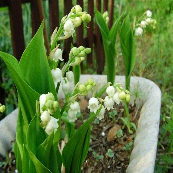8 loại hoa thơm như nước hoa, trồng ban công đưa hương nức cả nhà-1