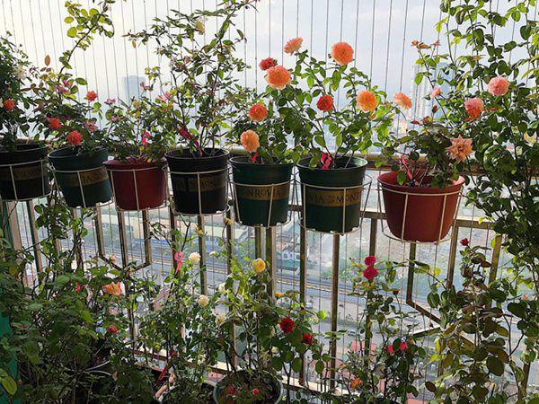8 loại hoa thơm như nước hoa, trồng ban công đưa hương nức cả nhà-3