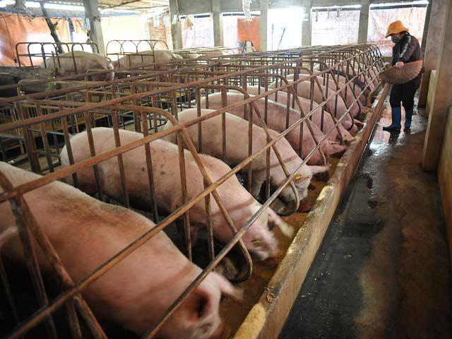 Quên lời hứa với Bộ trưởng, ồ ạt tăng giá thịt lợn kiếm lời-1