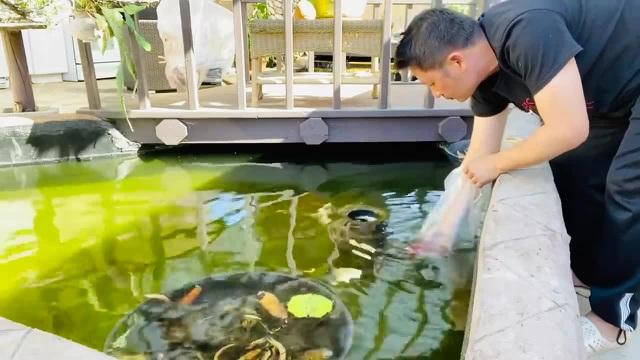 Chiêm ngưỡng hồ cá Koi của Bằng Kiều trên đất Mỹ-6