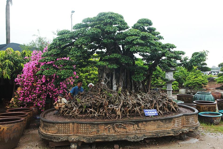 Choáng ngợp cây sanh lá móng cổ thụ giá chục tỷ ở Hà Nội-10