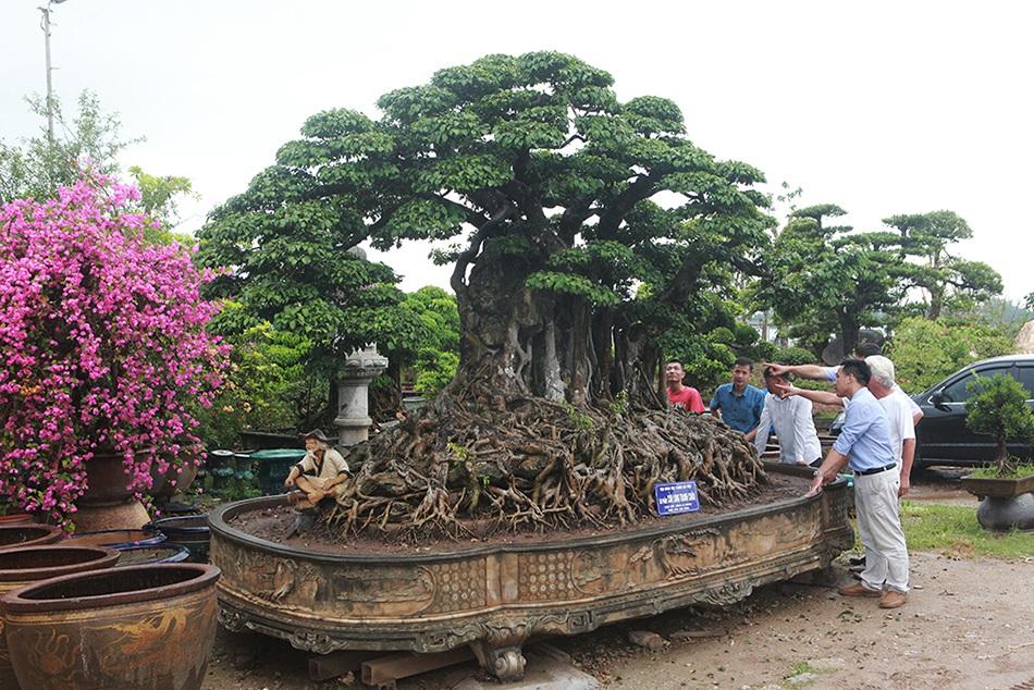 Choáng ngợp cây sanh lá móng cổ thụ giá chục tỷ ở Hà Nội-3