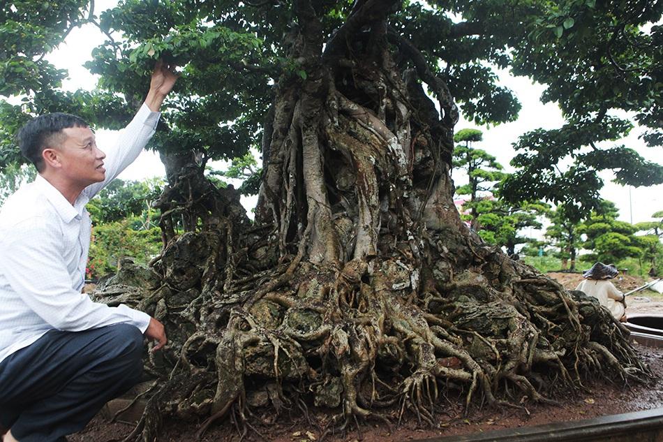 Choáng ngợp cây sanh lá móng cổ thụ giá chục tỷ ở Hà Nội-4