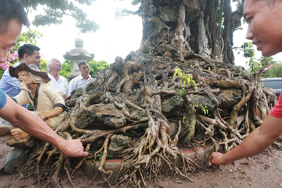 Choáng ngợp cây sanh lá móng cổ thụ giá chục tỷ ở Hà Nội-6