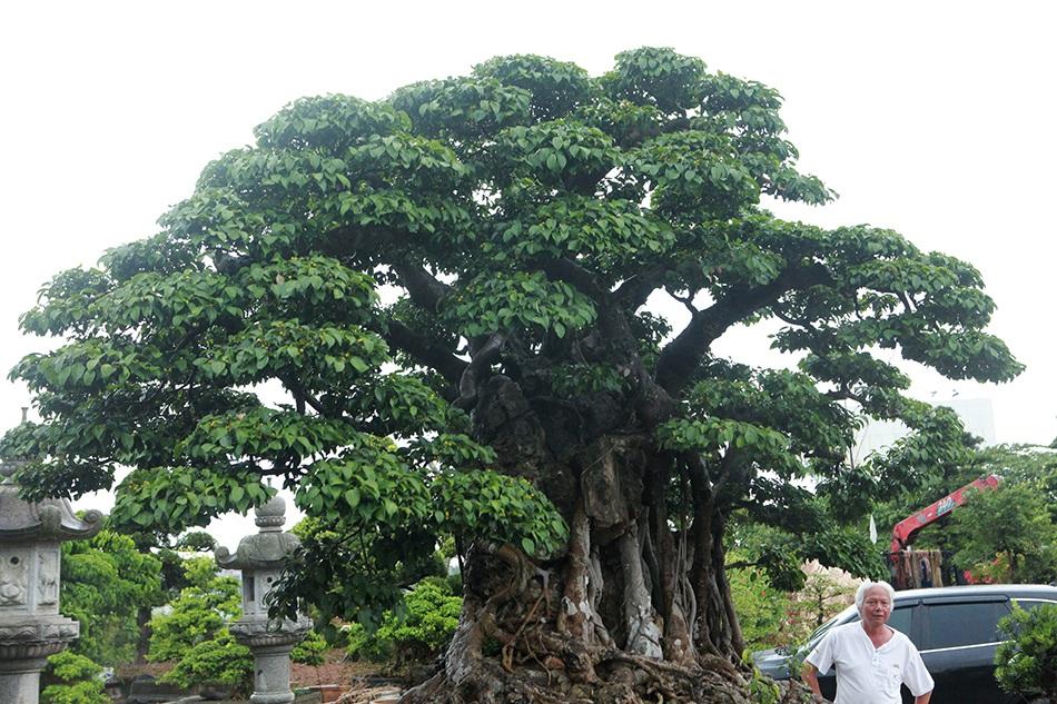 Choáng ngợp cây sanh lá móng cổ thụ giá chục tỷ ở Hà Nội-8