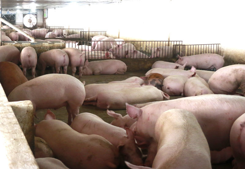 Không kìm nổi giá tăng mạnh, Bộ quyết nhập lợn sống về giết mổ-1