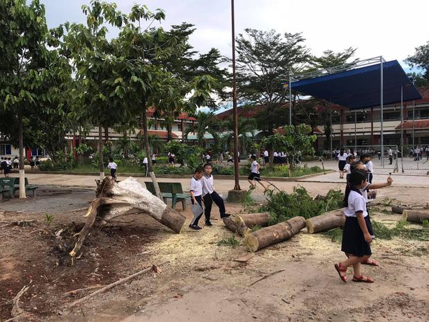 Bình Dương: Cây phượng trong sân trường bật gốc, ngã đổ ngay sau khi học sinh ra về-2