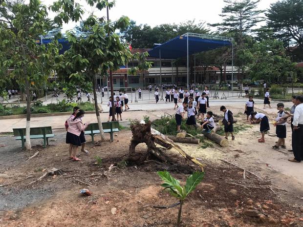 Bình Dương: Cây phượng trong sân trường bật gốc, ngã đổ ngay sau khi học sinh ra về-3