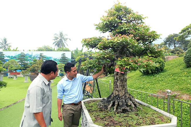 Đại gia Thái Nguyên dốc tiền khủng chơi dàn bonsai khế, coi như báu vật trong nhà-1
