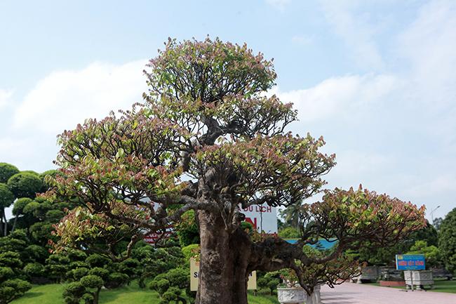 Đại gia Thái Nguyên dốc tiền khủng chơi dàn bonsai khế, coi như báu vật trong nhà-10