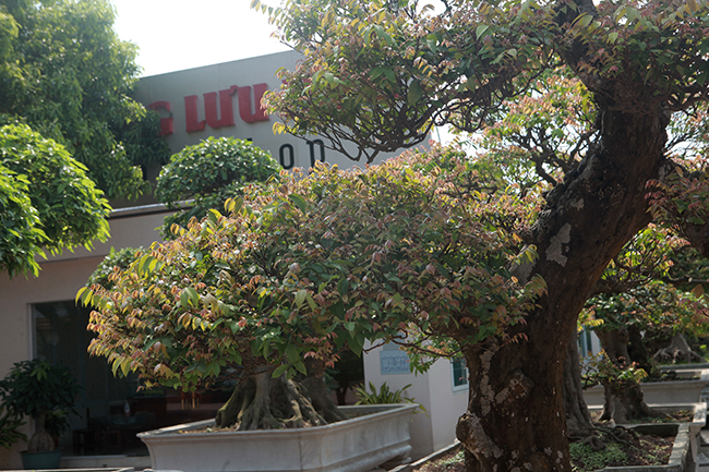 Đại gia Thái Nguyên dốc tiền khủng chơi dàn bonsai khế, coi như báu vật trong nhà-11