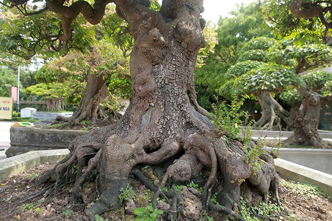 Đại gia Thái Nguyên dốc tiền khủng chơi dàn bonsai khế, coi như báu vật trong nhà-12