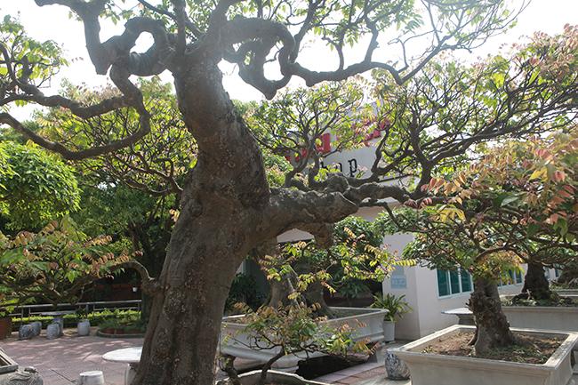 Đại gia Thái Nguyên dốc tiền khủng chơi dàn bonsai khế, coi như báu vật trong nhà-13