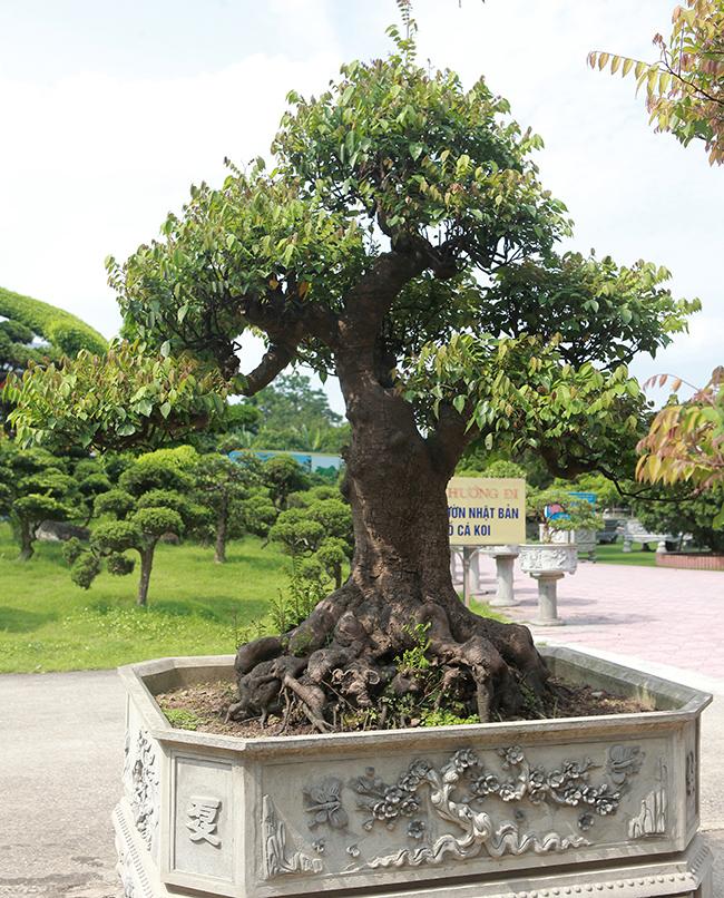 Đại gia Thái Nguyên dốc tiền khủng chơi dàn bonsai khế, coi như báu vật trong nhà-14