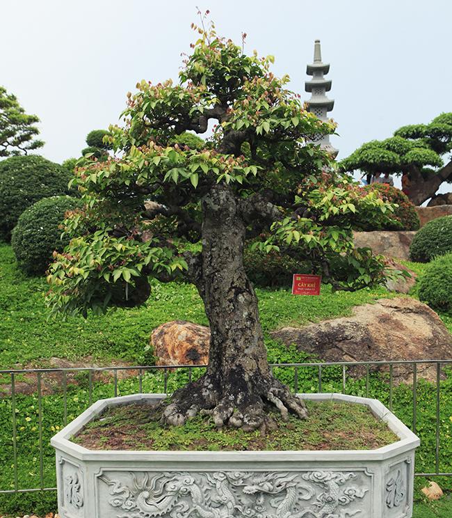 Đại gia Thái Nguyên dốc tiền khủng chơi dàn bonsai khế, coi như báu vật trong nhà-3