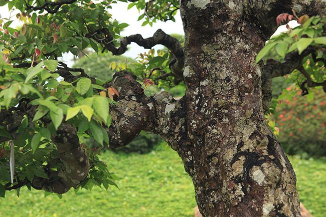 Đại gia Thái Nguyên dốc tiền khủng chơi dàn bonsai khế, coi như báu vật trong nhà-4