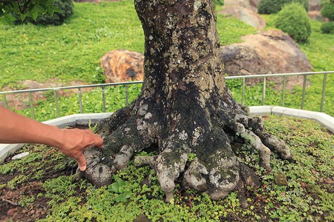 Đại gia Thái Nguyên dốc tiền khủng chơi dàn bonsai khế, coi như báu vật trong nhà-5