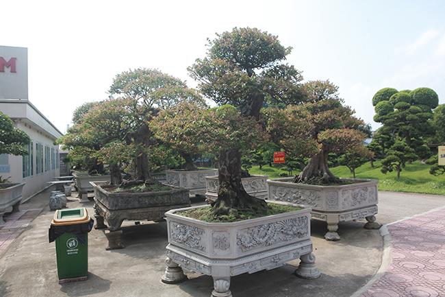 Đại gia Thái Nguyên dốc tiền khủng chơi dàn bonsai khế, coi như báu vật trong nhà-6
