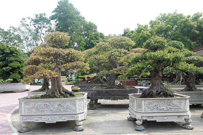 Đại gia Thái Nguyên dốc tiền khủng chơi dàn bonsai khế, coi như báu vật trong nhà-7