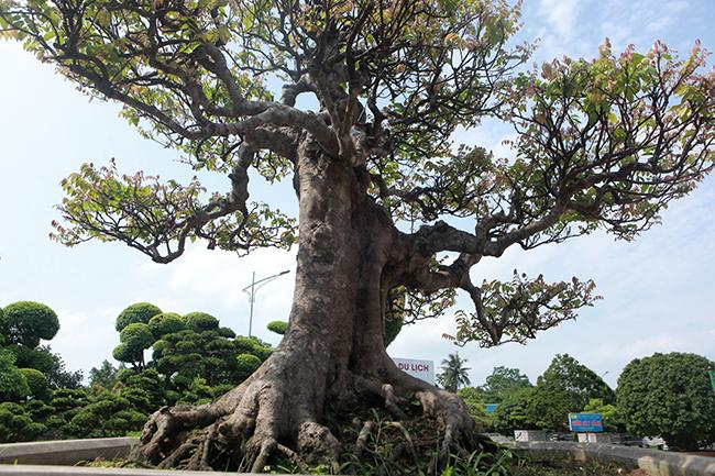 Đại gia Thái Nguyên dốc tiền khủng chơi dàn bonsai khế, coi như báu vật trong nhà-9