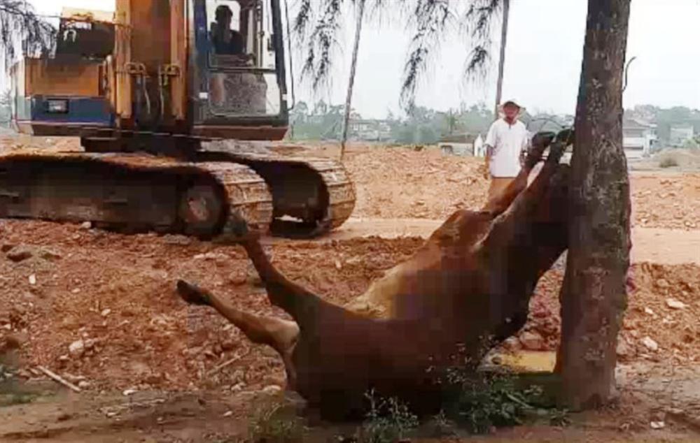 Hai người đàn ông lạ mặt xuất hiện, 4 con bò bỗng lăn ra chết bất thường-1