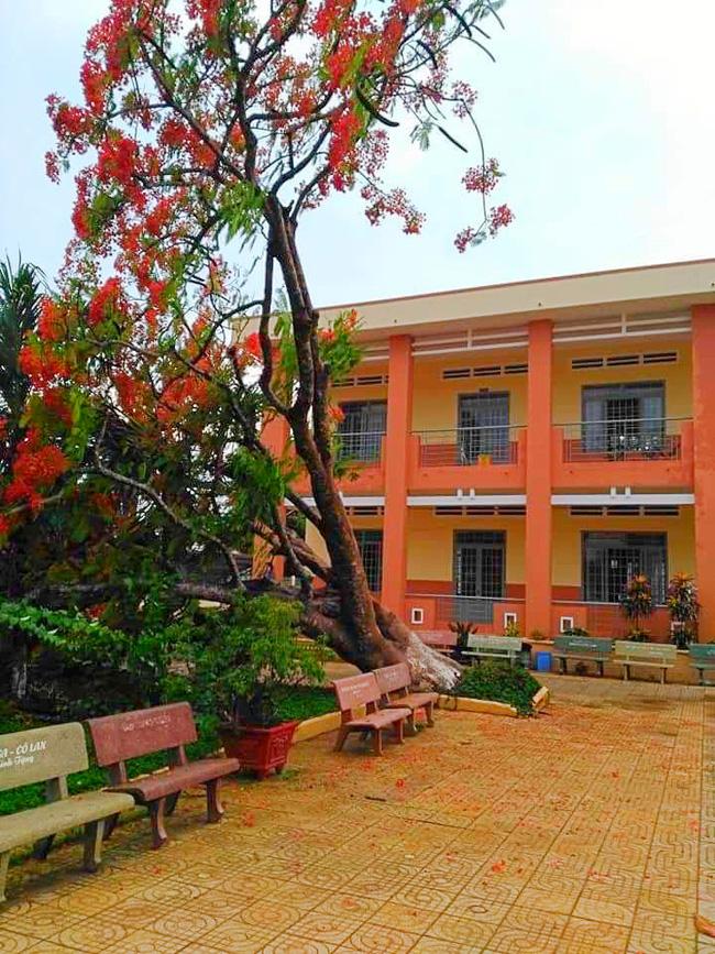 Lại thêm một cây phượng cao lớn bật gốc trong sân trường ở Đồng Nai-1