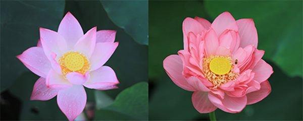 Mẹo phân biệt hoa sen và quỳ chuẩn, người bán hoa không bao giờ nói cho bạn-3