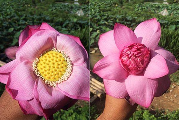 Mẹo phân biệt hoa sen và quỳ chuẩn, người bán hoa không bao giờ nói cho bạn-4