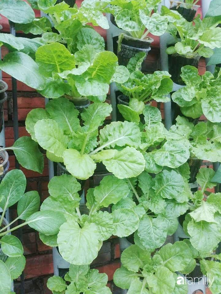 Không có đất trồng rau, mẹ đảm ở Sài Gòn vẫn tạo ra được vườn rau sạch trên tường nhờ tận dụng ống nhựa bỏ đi-8
