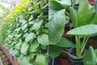 Không có đất trồng rau, mẹ đảm ở Sài Gòn vẫn tạo ra được vườn rau sạch trên tường nhờ tận dụng ống nhựa bỏ đi