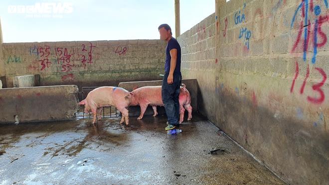 Hàng nghìn con lợn sống được nhập về, giá lợn hơi liên tiếp giảm mạnh-1
