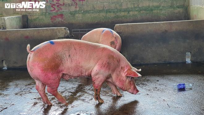 Hàng nghìn con lợn sống được nhập về, giá lợn hơi liên tiếp giảm mạnh-2