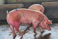 Hàng nghìn con lợn sống được nhập về, giá lợn hơi liên tiếp giảm mạnh