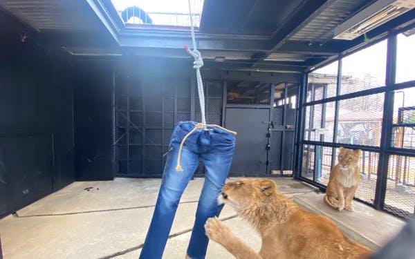 Quần jeans bị sư tử xé rách có giá 639 USD-1
